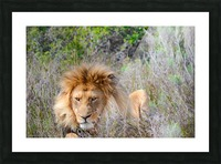 King of the Jungle Picture Frame print