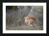 The Lion Sleeps Tonight Picture Frame print