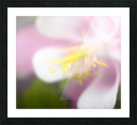 Sweet Columbine - Douce Ancolie Picture Frame print