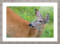 Summer Doe Picture Frame print