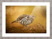 Female Ruffed Grouse Picture Frame print