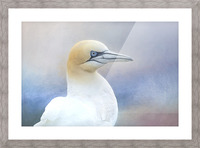 Northern Gannet Picture Frame print