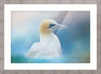 Northern Gannet ver2 Picture Frame print