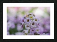 Small Purple White Flower Photograph Picture Frame print