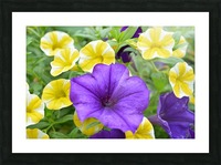 Beautiful Blue Flower In Yellow Flower Garden Photograph Picture Frame print