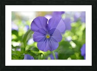 Blue Pansy Photograph Picture Frame print