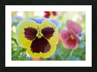 Yellow Pansy Covered In Due Photograph Picture Frame print