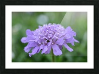 Purple Pincushion Flower Photograph  Picture Frame print