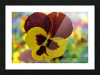 Yellow Pansy Covered In Due Drops Picture Frame print