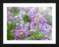 Beautiful Small Purple Flowers Photograph Picture Frame print