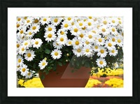Beautiful White Flowers In A Hanging Basket Photograph Picture Frame print