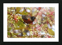 American Robin In Dogwood Picture Frame print