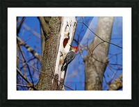 Red Bellied Woodpecker Picture Frame print