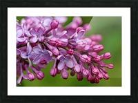 Fragrance Of Spring Picture Frame print