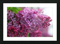 Lilac Heaven Picture Frame print