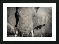 Elephant Portrait Picture Frame print