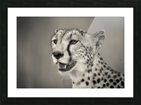 Cheetah Portrait Picture Frame print