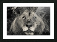 The King of South Africa - 1 Picture Frame print