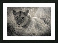 Lioness in the sun Picture Frame print
