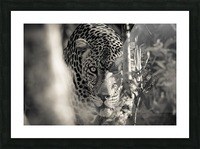 Eyes of the Leopard Picture Frame print