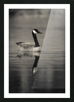 Canada Goose Picture Frame print