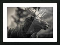Moose Portrait - 2 Picture Frame print
