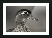 Wood Duck Picture Frame print