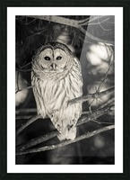 Spotted Owl - 2 Picture Frame print