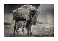 Bison love Picture Frame print