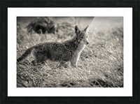 Coyote  Picture Frame print