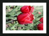 Tulips Red Picture Frame print