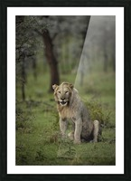 Lion under Rain by www.jadupontphoto.com Picture Frame print