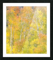 Changing Aspens - Vail Colorado Picture Frame print