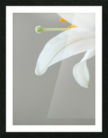 Madonna Lily detail Picture Frame print