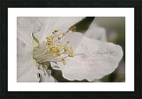 Fruit Blossom in close-up Picture Frame print