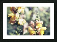 Lupinus Luteus Yellow Picture Frame print