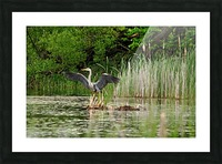 Great Blue Heron Landing Picture Frame print