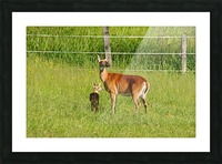 Whitetail Doe And Fawn Picture Frame print