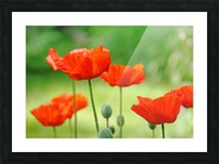 Morning Light Poppies Picture Frame print