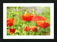 Poppy Garden Picture Frame print