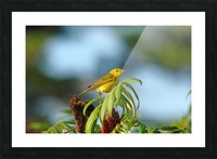 Yellow Warbler In Sumac Picture Frame print