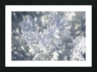 Seaside Cineraria Picture Frame print