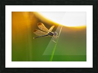 Dragonfly perching on grass twig Picture Frame print