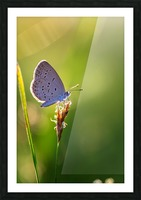 Gray butterfly perching on grass flower Picture Frame print
