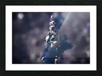 Lupinus luteus Dark Blue Picture Frame print