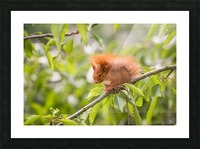 Squirrel Picture Frame print