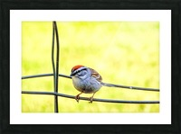 Sparrow on Wire Picture Frame print