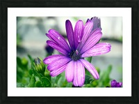 Waterdrop On Purple Flower Picture Frame print