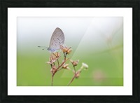 Gray butterfly perching on dried grass Picture Frame print
