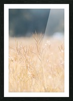 Died grass in field Picture Frame print